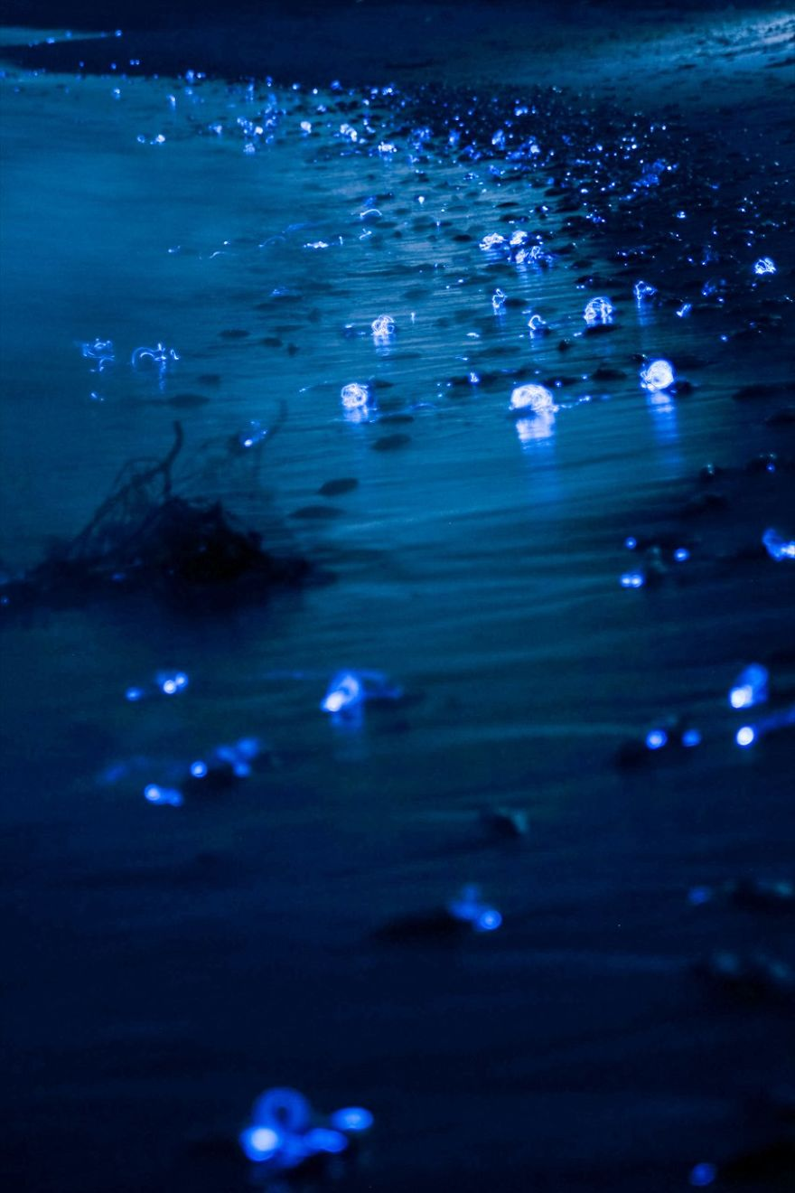 Spectacle des lucioles calmar