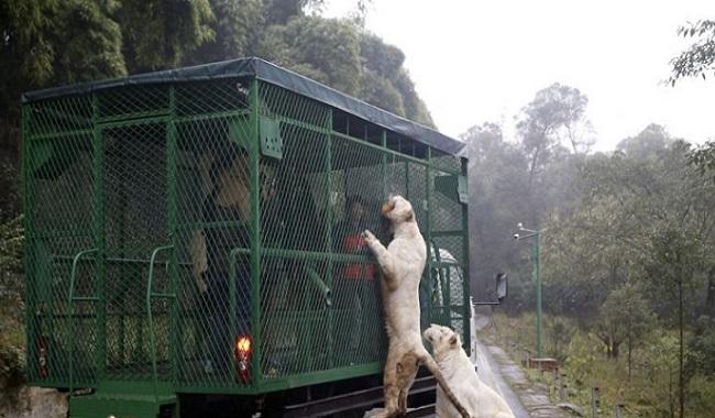 Tigre Chine Zoo