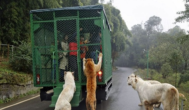 Zoo visite en voiture Chine