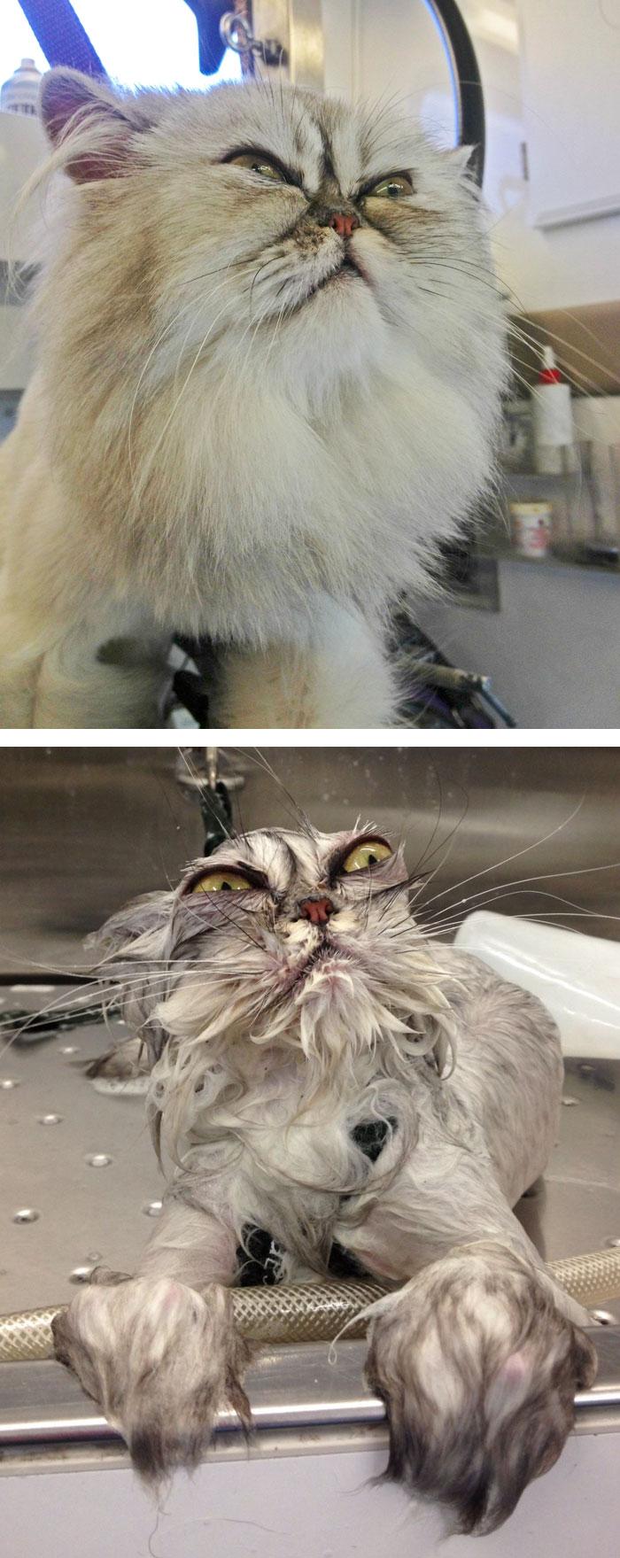 Chat avant et aprés un bain . Trop mignon