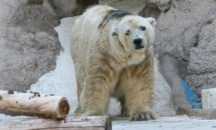 Arturo l'ours polaire mort en Argentine