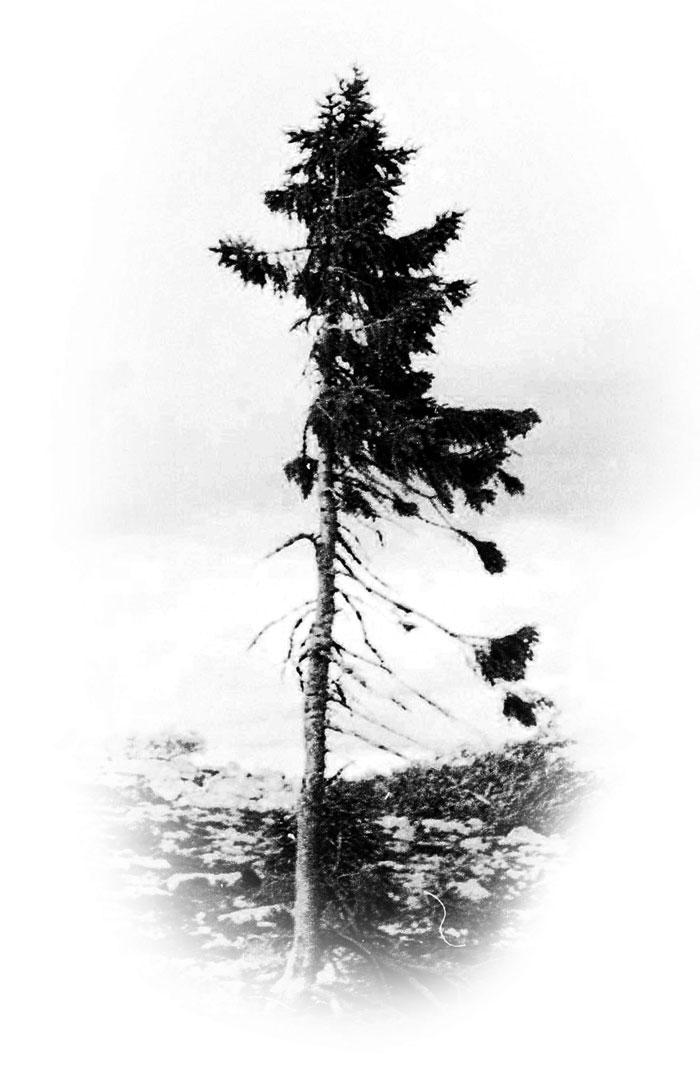 Le plus veil arbre au monde en Norvège