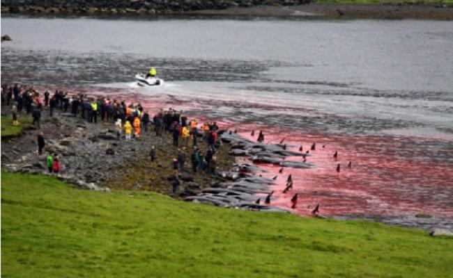 Massacre de baleines pilote aux Iles Féroés