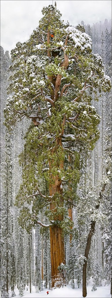 Plus grand arbre de Sequoia pris en photo