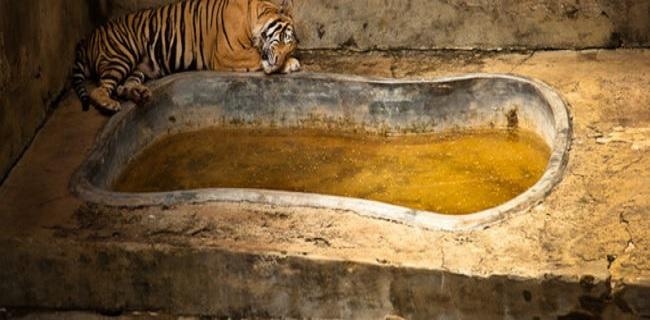 Tigre en captivité