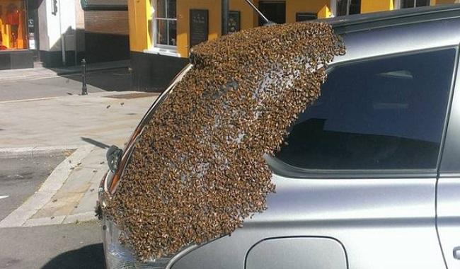 20 000 abeilles suivent une voiture en ville
