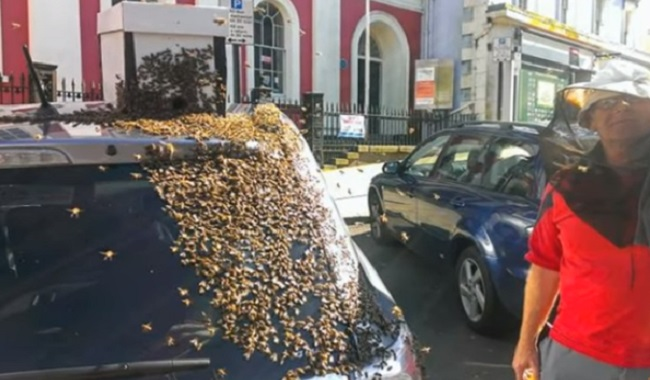 Apiculteurs retirent les abeilles qui ont suivi une voiture pendant 2 jours