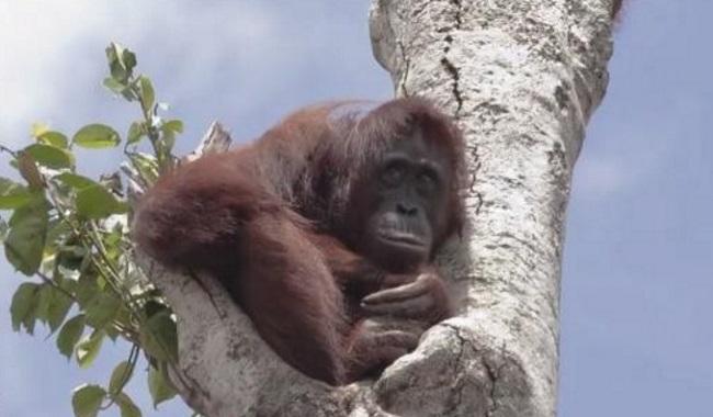 Orang-outan accroché au dernier arbre d'une forêt tropicale