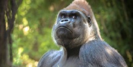 Le plus grand Primate vivant sur Terre est sur le point de Disparaitre